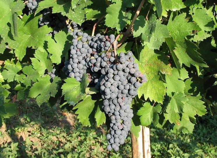 vino gutturnio vitigno