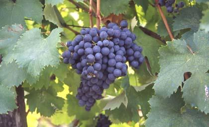 bonarda-uva