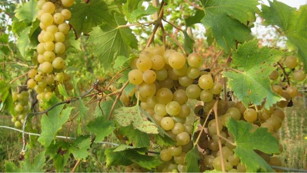 malvasia bianca di candia aromatica, una qualità di uva presente nei colli piacentini