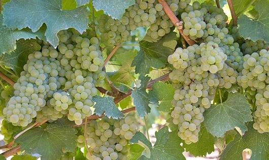 grappolo-uva-3-ortrugo